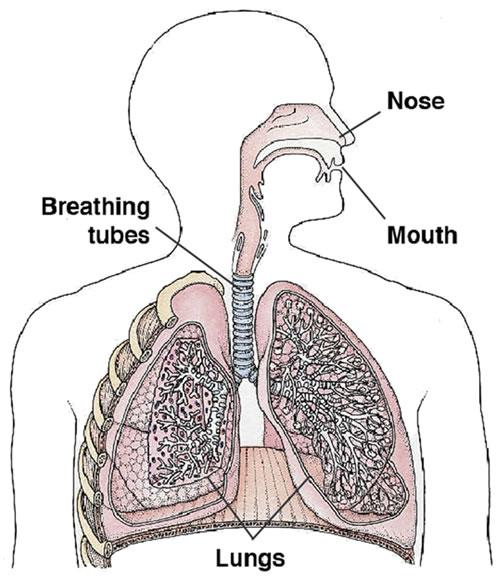 انواع ریه چیست