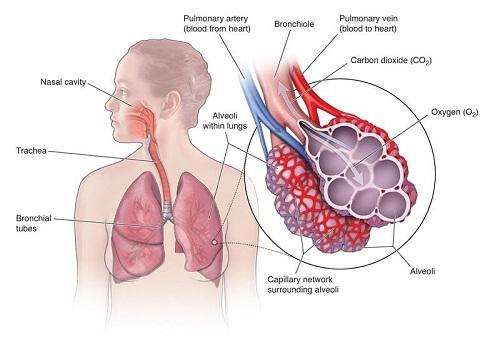آناتومی ریه و عملکرد دستگاه تنفسی
