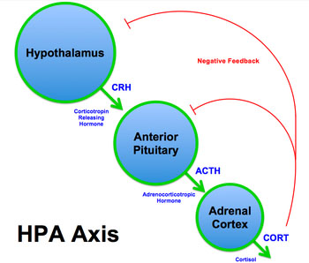 محور هیپوتالاموس هیپوفیز برای تحریک ترشح هورمون آدرنوکورتیکوتروپیک (ACTH)