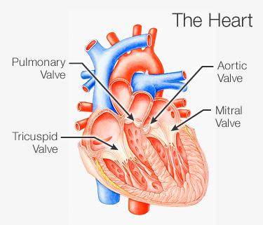 دریچههای قلبی