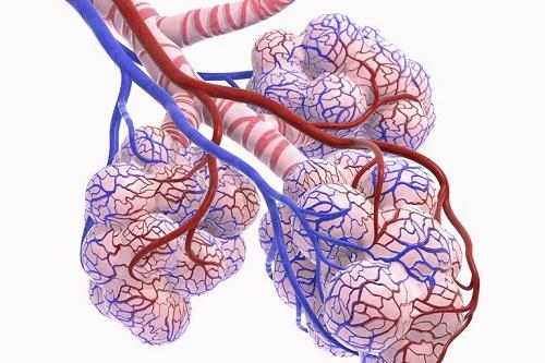 آلوئول در ریه و دستگاه تنفس