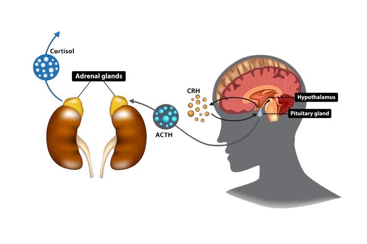 هورمون آزادکننده کورتیکوتروپین CRH چیست و چه تاثیراتی در بدن دارد