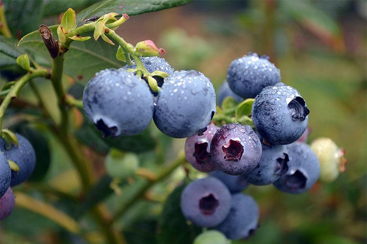 آشنایی با خواص شگفت انگیز میوه بلوبری
