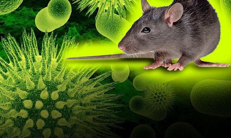 ویروس هانتا چیست و چرا شبیه به پاندمی کرونا ویروس میباشد؟