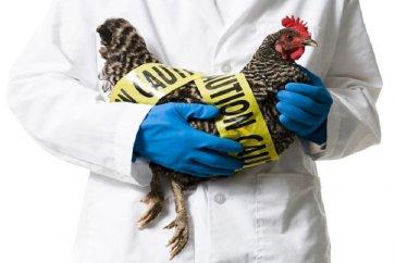 درباره آنفلوانزای مرغی بیشتر بدانید